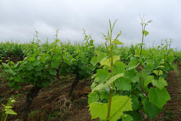 Une matinée dans les vignes avec Sarmance